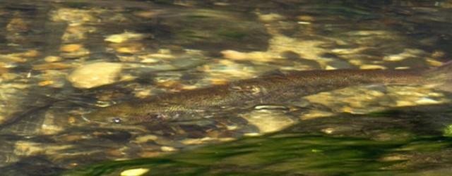 Do řeky Kamenice se v těchto dnech začínají vracet lososi. Letošní lososí tah je kvůli velkému suchu slabší, zatím se podařilo zpozorovat maximálně desítku kusů. S mikrofonem jsme se vydali […]