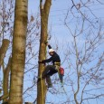 Rizikové kácení, prořez stromů klasickou stromolezeckou technikou – levnější a efektivnější. Okolí Děčína. Tel.:774537645