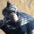 """Bábinka je nejstarší opice mangabeje černého na světe – je jí třicet sedm let. """"Podle koordinátora chovu je opravdu zaručeně nejstarší evidovaná mangabejka na světě,"""" potvrzuje hlavní ošetřovatelděčínské zoo Petr […]"""