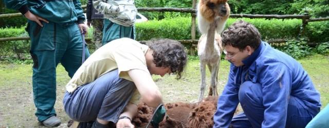 """Lamy alpaky zděčínské zoologické zahrady prošly tento týden kadeřnickým salónem. Ládík a Marcelka, jak jim ošetřovatelé říkají, absolvovali touto zkrašlovací proceduru poprvé a byly vzornými """"zákazníky"""". O letní sestřih se […]"""