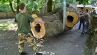 Šest tun, čtyři metry na délku a 5,5 metru po obvodu! Tak to jsou míry kmenu 250 let staré lípy, která nyní zdobí expozici mravenečníků velkých v děčínské zoologické zahradě. […]
