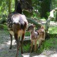 """Děčínská zoo se může pochlubit dalším cenným odchovem. Na svět tu vdruhé polovině července přišlo mládě vzácného sambara skvrnitého. """"Narodilo se 20. července po 240 dnech březosti. Má se čile […]"""