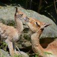 Po pětileté přestávce slaví děčínská zoologická zahrada narození mláděte u vzácných vikuní. Jde o divoký druh lamy žijící ve vysokých Andách jižního Peru a Bolívie a v severních oblastech Argentiny […]