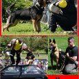Výcvikový kurz bude probíhat pod vedením Jiřího Haleše, figuranta a výcvikáře služebních psů pro civilní a ozbrojené složky. Se psy úspěšně složil přes 60 zkoušek z výkonu, včetně těch nejvyšších. […]