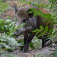 """Po zhruba devítiměsíční pauze si mohou návštěvníci děčínské zoo opět užívat pohledu na divoká prasata. Expozice divočáků potřebovala kompletní rekonstrukci. """"Ta započala již na podzim loňského roku obnovou dřevěné lávky, […]"""