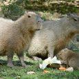 """Po třech letech se děčínská zoologická zahrada opět raduje zodchovu u kapybar vodních. Zhruba před 14 dny tu na svět přišlo mládě, které se má čile ksvětu. """"Naše zoo se […]"""