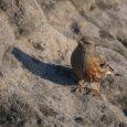 České Švýcarsko, 30. 1. 2019 –Unikátní ornitologické pozorování se podařilo v neděli, 20. ledna 2019, fotografce Kateřině Podhorové. Při vycházce k Pravčické bráně zachytila na jednom z vyhlídkových míst pěvušku […]