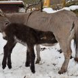 """Děčínská zoologická zahrada se raduje s dalšího přírůstku. V expozici oslů domácích se ve čtvrtek 7. února narodila krásná oslí slečna. """"Na svět přišla během rána a porod proběhl vnaprostém […]"""